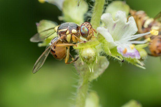 super-macro-bactrocera-zonata-peach-fruit-fly_36036-577